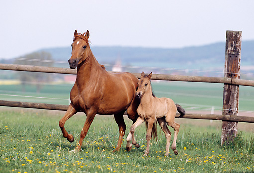 HOR 01 SS0125 01 © Kimball Stock Chestnut Paso Fino Mare And Foal Trotting In Pasture