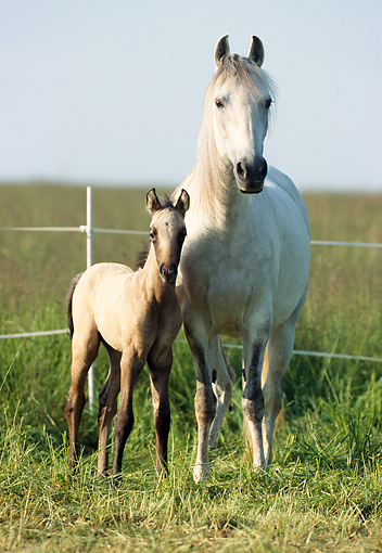 HOR 01 SS0126 01 © Kimball Stock Gray Paso Fino Mare And Foal Standing In Pasture