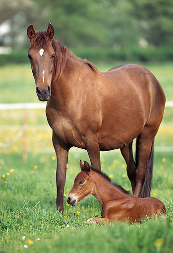 HOR 01 SS0127 01 © Kimball Stock Chestnut Peruvian Paso Mare And Foal Standing And Laying In Pasture