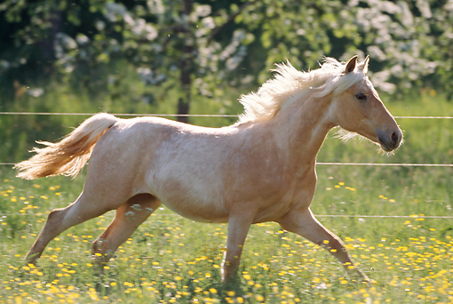HOR 01 SS0128 01 © Kimball Stock Palomino Missouri Foxtrotter Cantering In Pasture