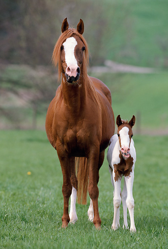 HOR 01 SS0131 01 © Kimball Stock Pinto Arabian Mare And Foal Standing In Pasture