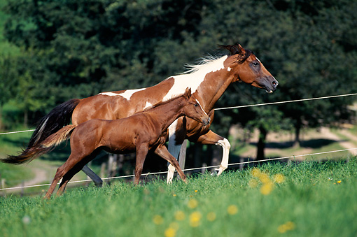 HOR 01 SS0133 01 © Kimball Stock Paint Horse Mare And Foal Running In Pasture