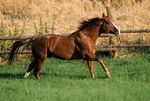 HOR 01 SS0135 01 © Kimball Stock Chestnut Quarter Horse Cantering In Pasture