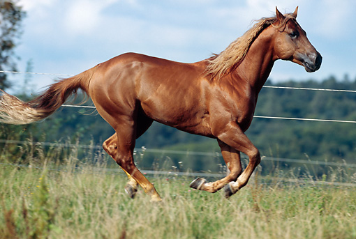 HOR 01 SS0136 01 © Kimball Stock Chestnut Quarter Horse Galloping In Pasture