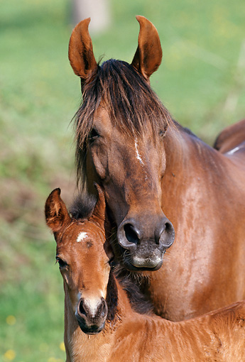HOR 01 SS0137 01 © Kimball Stock Head Shot Of Bay Mangalarga Mare And Foal Standing In Pasture