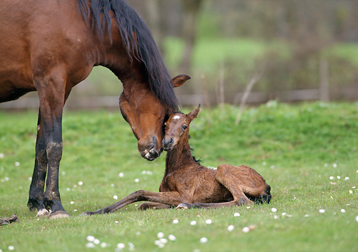 HOR 01 SS0138 01 © Kimball Stock Bay Mangalarga Mare Nuzzling Newborn Foal In Pasture