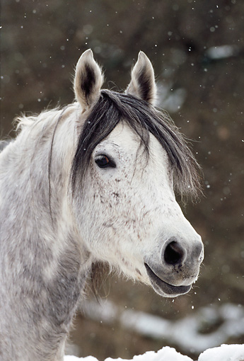 HOR 01 SS0140 01 © Kimball Stock Head Shot Of Gray Mangalarga Horse Standing In Snow
