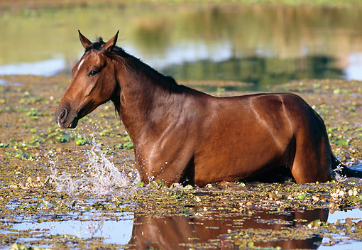 HOR 01 SS0143 01 © Kimball Stock Bay Mangalarga Horse Wading In Pond