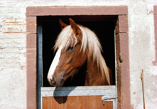 HOR 01 SS0146 01 © Kimball Stock Head Shot Of Black Forest Horse Looking Through Stall Door
