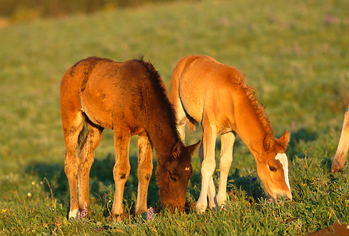 HOR 01 TL0001 01 © Kimball Stock Two Wild Horse Colts Grazing