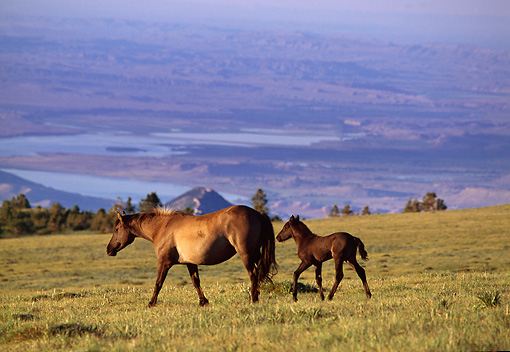 HOR 01 TL0005 01 © Kimball Stock Wild Horse Mare And Colt Trotting