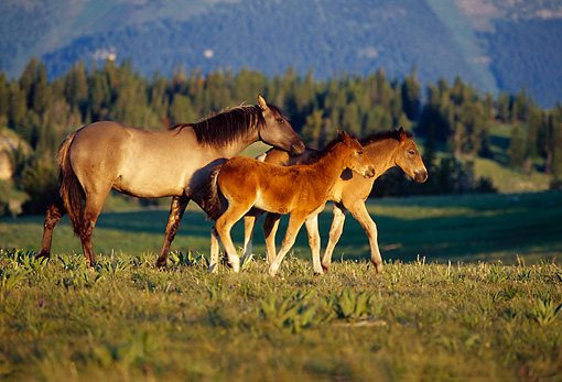 HOR 01 TL0006 01 © Kimball Stock Herd Of Wild Horses Mare And Colt Trotting
