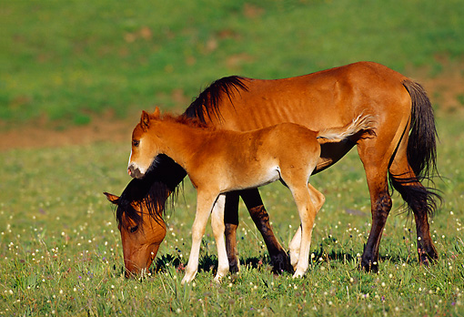 HOR 01 TL0016 01 © Kimball Stock Wild Horse Male And Colt Grazing On Pasture