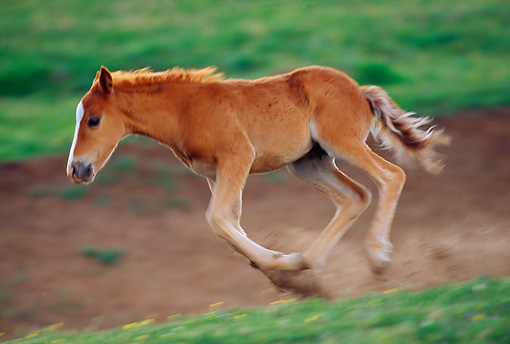 HOR 01 TL0020 01 © Kimball Stock Profile Of Wild Horse Colt Galloping