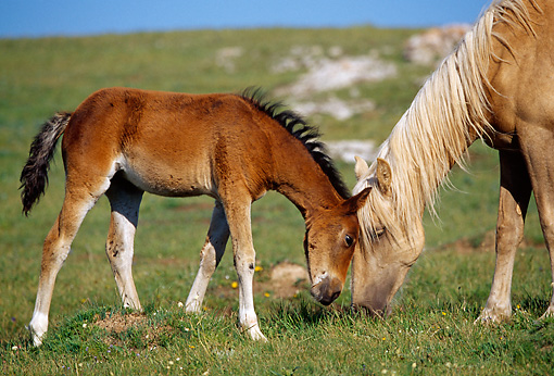 HOR 01 TL0027 01 © Kimball Stock Palomino Wild Horse Mare And Bay Colt Grazing In Field