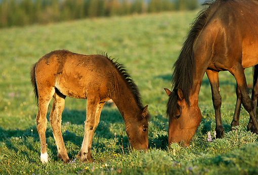 HOR 01 TL0028 01 © Kimball Stock Wild Horse Mare And Colt Grazing In Field