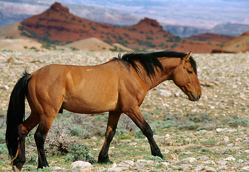 HOR 01 TL0029 01 © Kimball Stock Profile Of Wild Horse Stallion Walking In Rocky Field Mountains