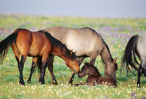 HOR 01 TL0030 01 © Kimball Stock Bay Wild Horse Nuzzling Colt In Field While Other Horses Graze