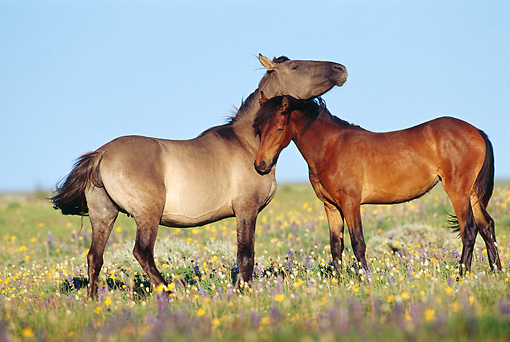 HOR 01 TL0031 01 © Kimball Stock Grullo And Bay Wild Horses Nuzzling In Field Of Flowers With Blue Sky