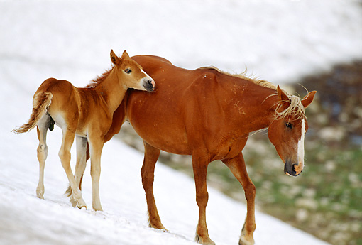 HOR 01 TL0033 01 © Kimball Stock Wild Horse Mare And Colt Walking On Snowy Slope