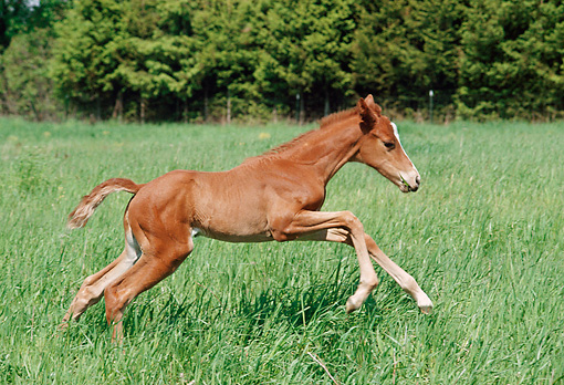 HOR 02 FA0001 01 © Kimball Stock Chestnut Thoroughbred Foal Galloping In Pasture