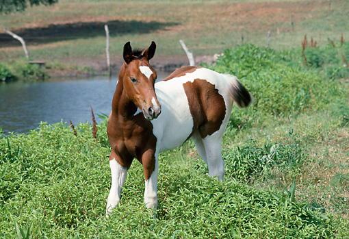 HOR 02 FA0002 01 © Kimball Stock Bay Paint Horse Foal Standing In Pasture By Pond