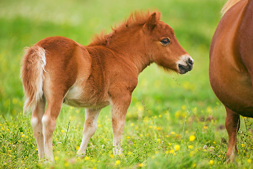 HOR 02 JE0002 01 © Kimball Stock Shetland Pony Foal Standing In Pasture