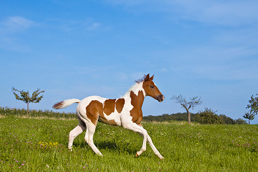 HOR 02 KH0025 01 © Kimball Stock Skewbald Paint Foal Galloping In Flowery Meadow Profile