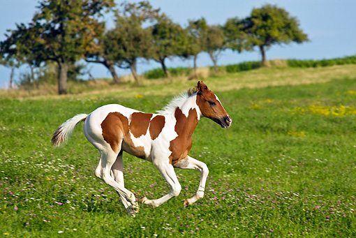 HOR 02 KH0026 01 © Kimball Stock Skewbald Paint Foal Galloping In Flowery Meadow Profile