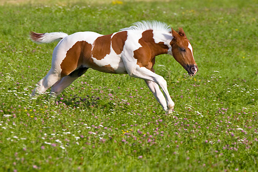 HOR 02 KH0027 01 © Kimball Stock Skewbald Paint Foal Galloping In Flowery Meadow Profile