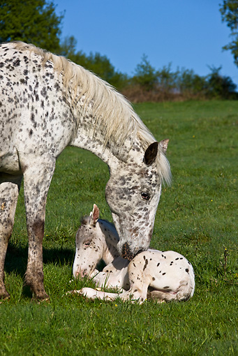 HOR 02 KH0029 01 © Kimball Stock Portrait Of Appaloosa Mare Nuzzling Newborn Foal In Meadow