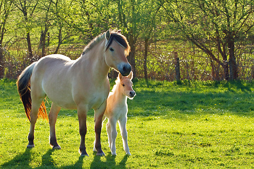 HOR 02 KH0031 01 © Kimball Stock Fjord Mare And Foal Standing In Meadow In Spring France