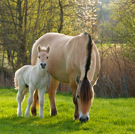 HOR 02 KH0032 01 © Kimball Stock Fjord Mare And Foal Standing In Meadow In Spring France