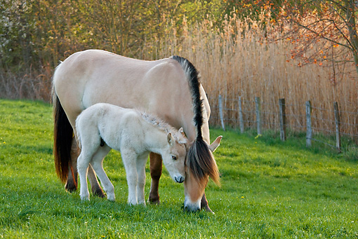 HOR 02 KH0033 01 © Kimball Stock Fjord Mare And Foal Standing In Meadow In Spring France