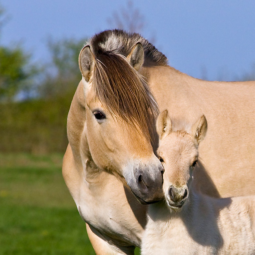 HOR 02 KH0034 01 © Kimball Stock Close-Up Of Fjord Mare Nuzzling Foal In Meadow In Spring France