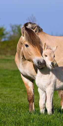 HOR 02 KH0035 01 © Kimball Stock Close-Up Of Fjord Mare Nuzzling Foal In Meadow In Spring France