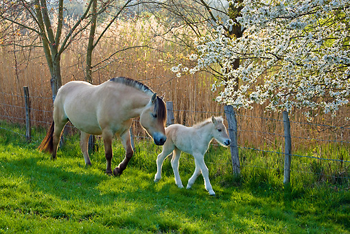 HOR 02 KH0036 01 © Kimball Stock Fjord Mare And Foal Walking Through Meadow With Cherry Blossoms France