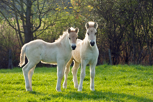 HOR 02 KH0037 01 © Kimball Stock Two Fjord Foals Standing In Meadow In Spring France