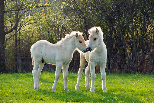 HOR 02 KH0038 01 © Kimball Stock Two Fjord Foals Nuzzling In Meadow In Spring France