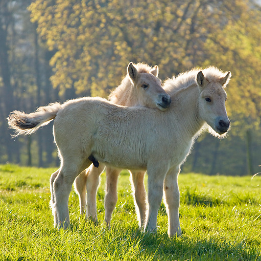 HOR 02 KH0039 01 © Kimball Stock Two Fjord Foals Playing In Meadow In Spring France