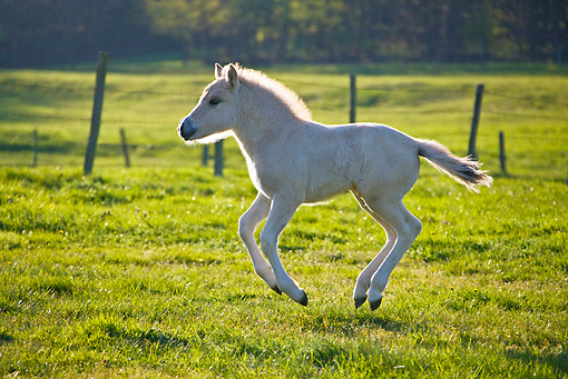 HOR 02 KH0040 01 © Kimball Stock Fjord Foal Playing In Meadow In Spring France