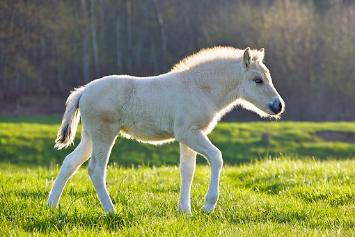 HOR 02 KH0042 01 © Kimball Stock Fjord Foal Walking In Meadow In Spring France