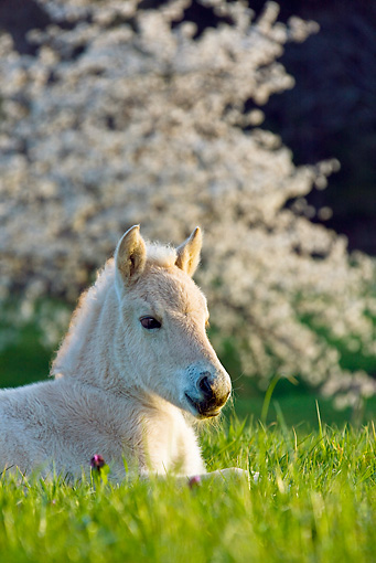 HOR 02 KH0044 01 © Kimball Stock Fjord Foal Laying In Meadow Near Cherry Blossoms France