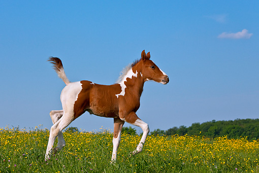 HOR 02 KH0045 01 © Kimball Stock Paint Quarter Horse Colt Trotting In Spring Meadow France