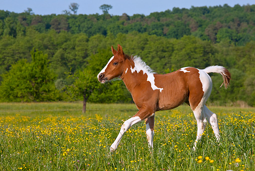 HOR 02 KH0046 01 © Kimball Stock Paint Quarter Horse Colt Trotting In Spring Meadow France