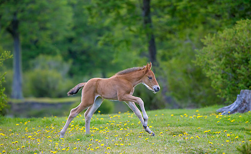 HOR 02 KH0050 01 © Kimball Stock Semi-Wild Criollo Newborn Foal Laying With Mare In Meadow
