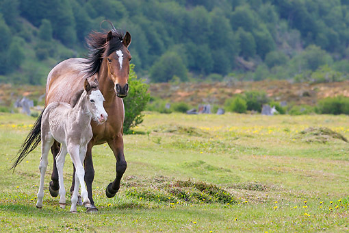 HOR 02 KH0051 01 © Kimball Stock Semi-Wild Criollo Foal Walking With Mare In Meadow In Argentina