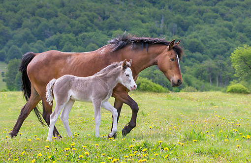 HOR 02 KH0052 01 © Kimball Stock Semi-Wild Criollo Foal Walking With Mare In Meadow In Argentina