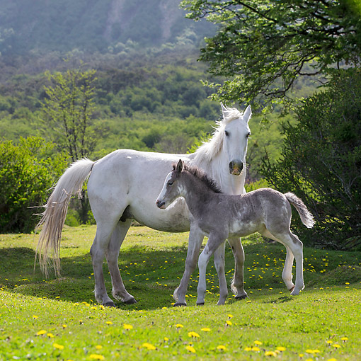 HOR 02 KH0054 01 © Kimball Stock Semi-Wild Criollo Mare And Foal Standing In Meadow In Argentina
