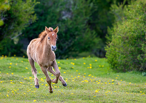 HOR 02 KH0055 01 © Kimball Stock Semi-Wild Criollo Filly Running In Meadow In Argentina